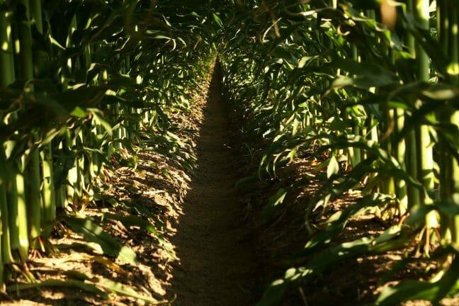 Corn stalks in field